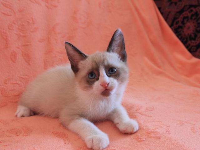 Котёнок Сноу-шу