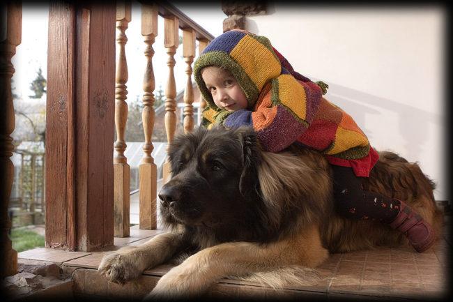 Леонбергер и ребёнок