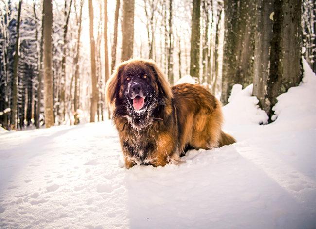 Леонбергер на прогулке в снегу