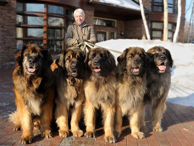 Собаки породы Леонбергер