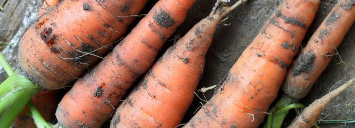 Секрет крупной моркови