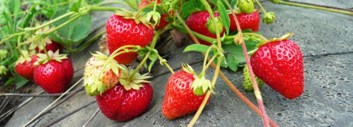 Урожайный земляничник. Опыт выращивания земляники садовой