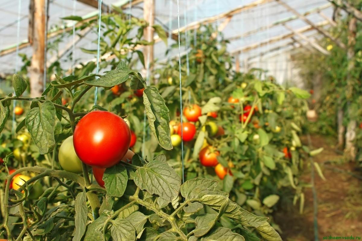томаты для карбонатных теплиц