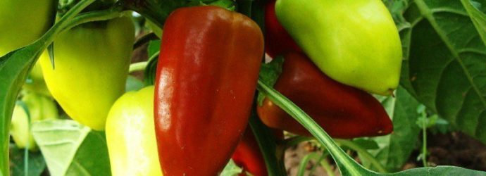 10 секретов хорошего урожая перцев