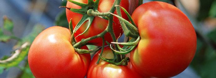 Как спасти томаты от болезней
