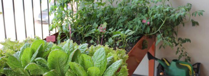 Выращиваем огурцы на балконе, секреты высокого урожая