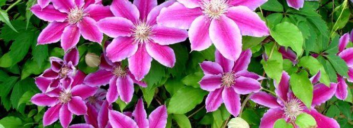 Секрет цветения клематиса