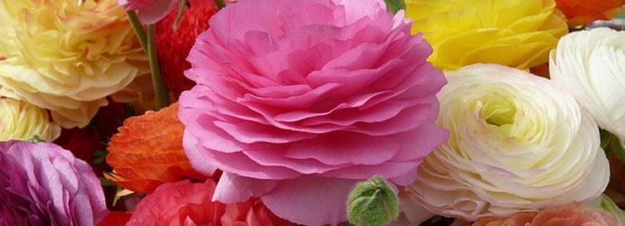 Похожие на розы — ранункулюсы