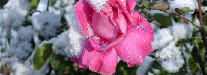 5 правил утепления розы