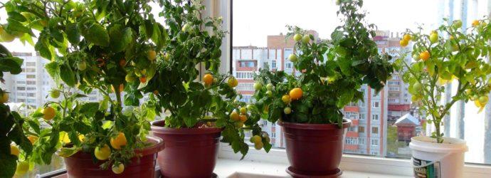 Как выращивать помидоры на подоконнике