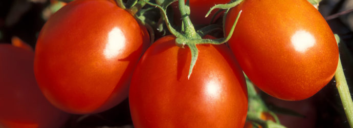 Средства от растрескивания томатов