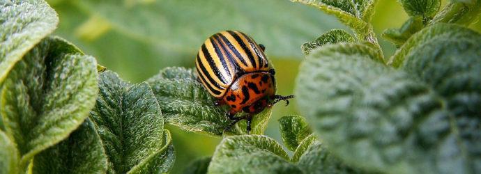 Боремся с колорадским жуком народными способами