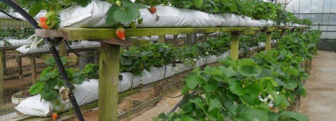 Выращиваем клубнику в мешках