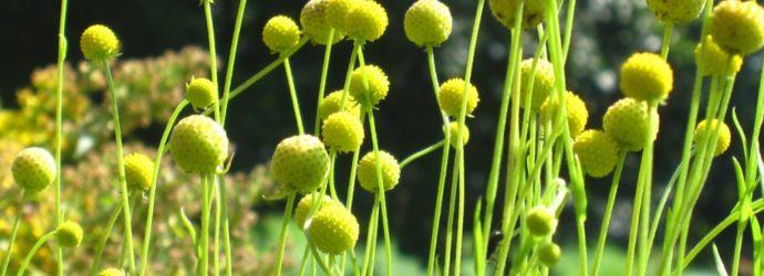 Цефалофора — трава с ароматом земляники