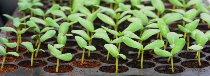 Выращивание рассады в больших количествах на маленькой площади