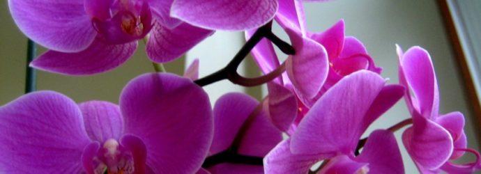 Капризная красавица: обеспечиваем орхидее правильный уход