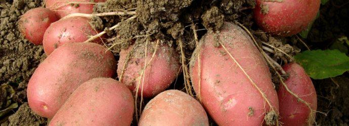 Урожай картофеля меряем ведрами