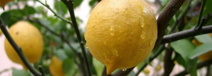 Выращиваем лимон в домашних условиях