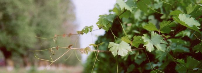 Виноградные радости: уход за взрослыми кустами