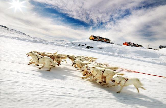 Гренландские собаки в упряжке