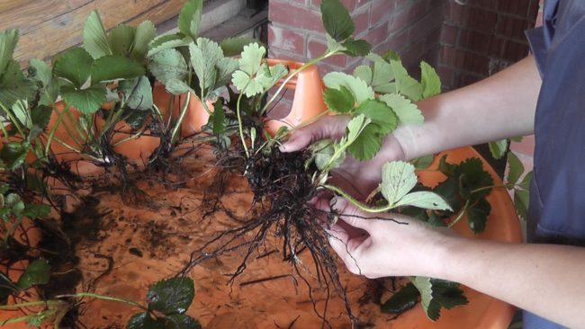 Кустики садовой земляники с корнями