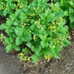 Кусты садовой земляники