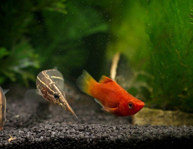 Макрогнатус и красная рыбка