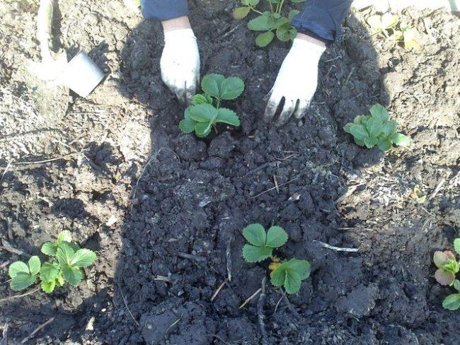 Саженцы садовой земляники в грунте