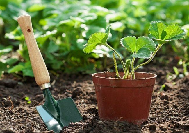 Саженец садовой земляники и лопатка