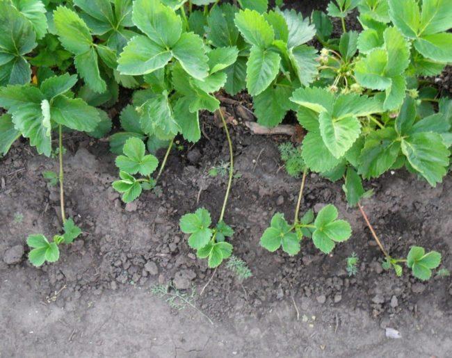 Усы садовой земляники в земле