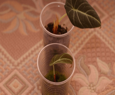 алоказии из семян