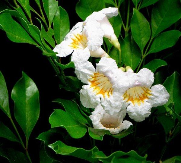 Цветы радермахеры