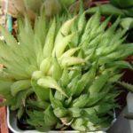 Хавортия травянистая