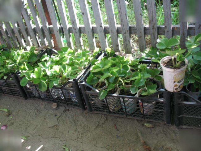 Рассада садовой земляники