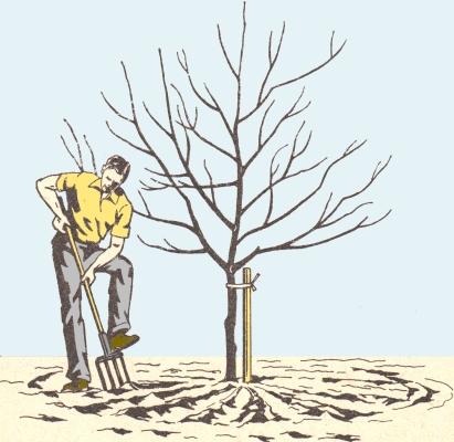 Человек рыхлит почву под деревом