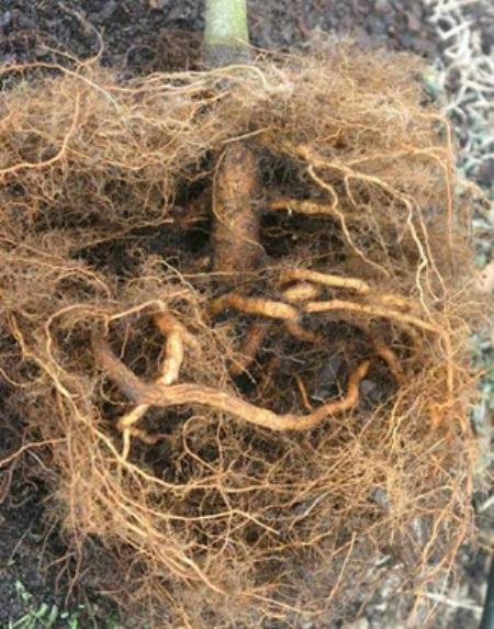 Деформированный корень