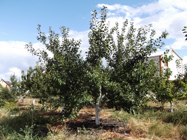 Дерево сливы Яхонтовая
