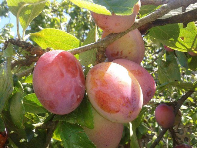 Сливовые плоды на ветке