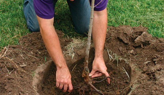 Размещение корней саженца