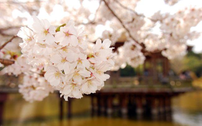 Слива цветёт