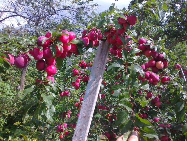 Ветки сливы с плодами на подпорке
