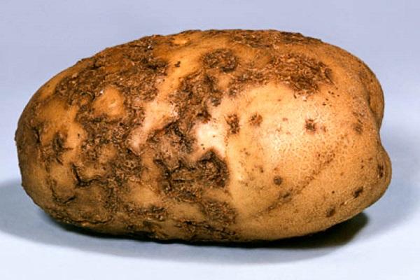 Парша на клубне картофеля