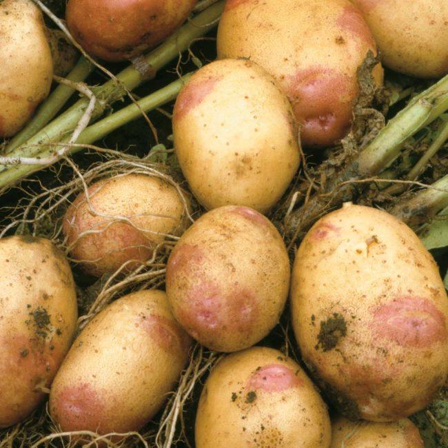 Урожай картофеля Иван-да-Марья