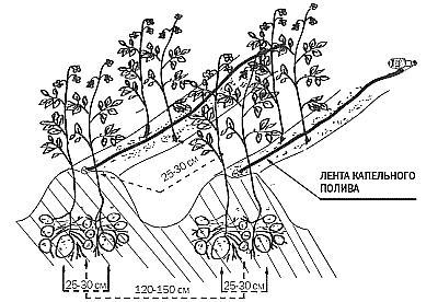 Схема посадки картошки Лимонка