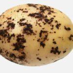 Пятна ризоктониоза на картошке