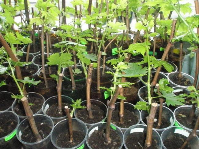 Черенки малины, высаженные в горшки с почвой