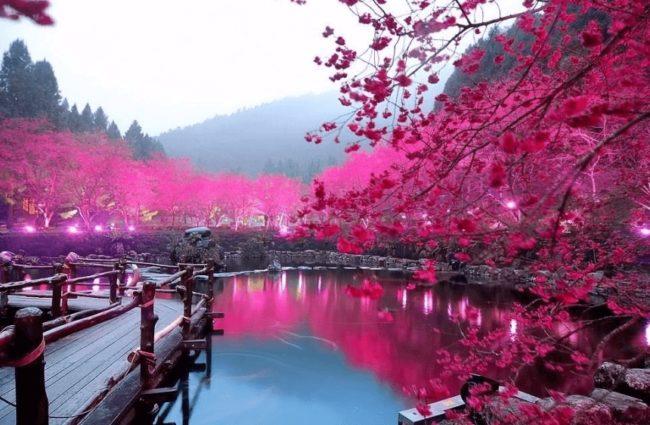 Цветение китайской сливы