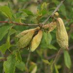 Сумчатая болезнь плодов сливы