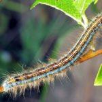 Гусеница кольчатого шелкопряда