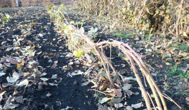 Кусты малины, подготовленные к зиме
